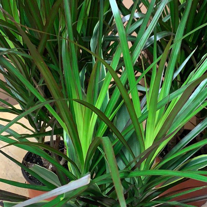 Dracena foliage plant