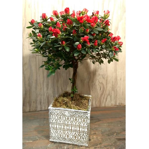 Azalea Tree In Ceramic