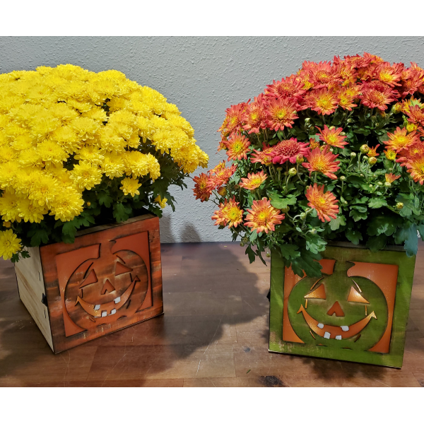 """Beaverton Florists Beaverton - Limited Edition!  Wonderful mum plants (6"""") in a fun decorative wooden box..... that lights it up! Color may vary, all of them fantastic! Perfect for covered porches (not Oregon rain friendly)."""