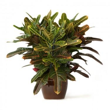 Croton Plant Large In Ceramic Pot
