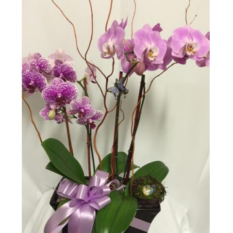 orchids a-plenty