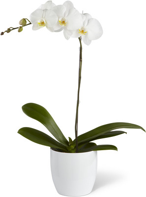 The FTD® White Orchid Planter