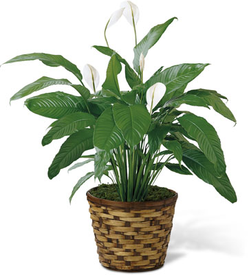 The FTD Spathiphyllum