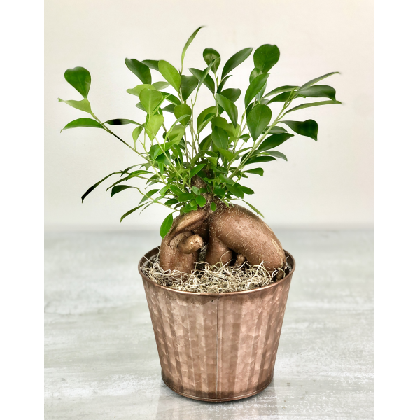 Ginseng Root Plant