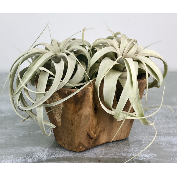 Air Plants in Root of the Earth Bowl