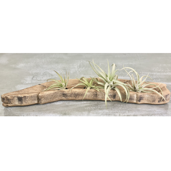 Driftwood Tealight Holder with Air Plants