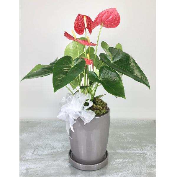 Anthurium Plant in Ceramic Container