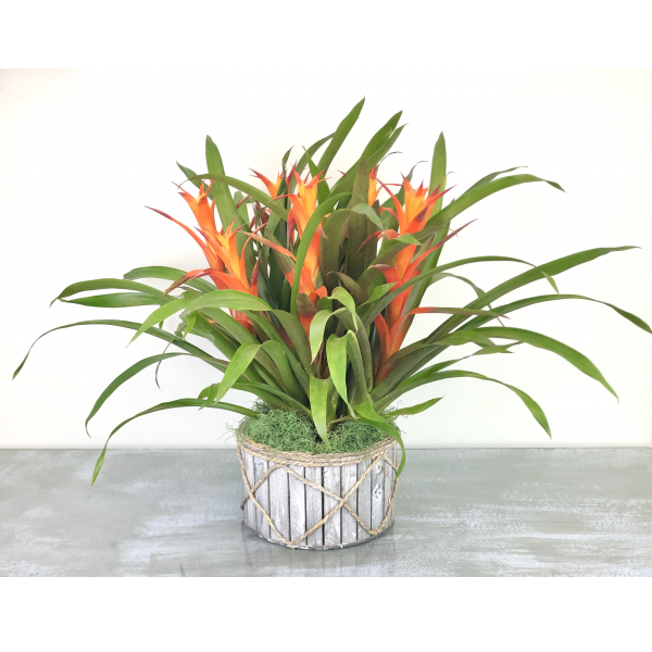 Blooming Bromiliad Plant