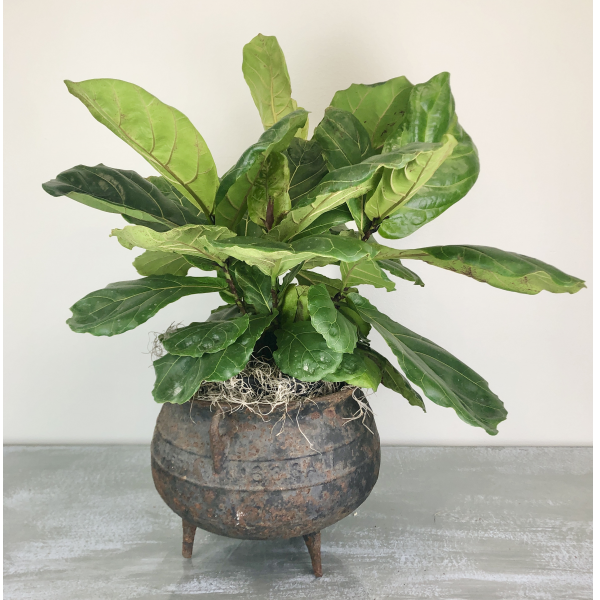 Fiddle-Leaf Fig Plant in Antique Wrought Iron Kettle