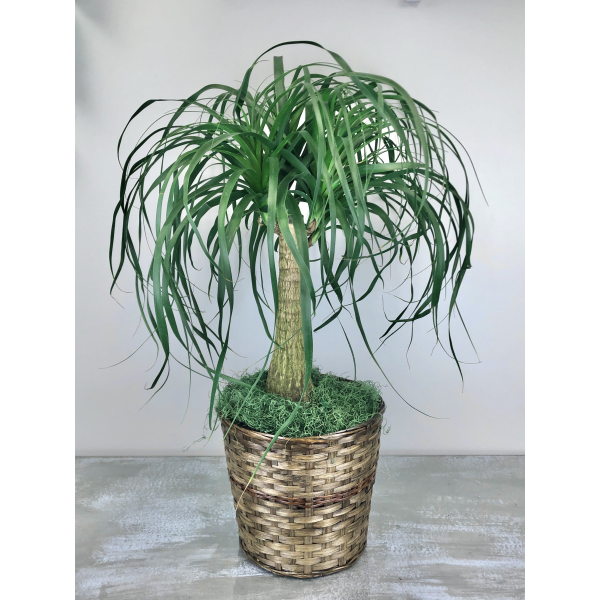 Pony Tail Palm (10 inch in Basket as seen)