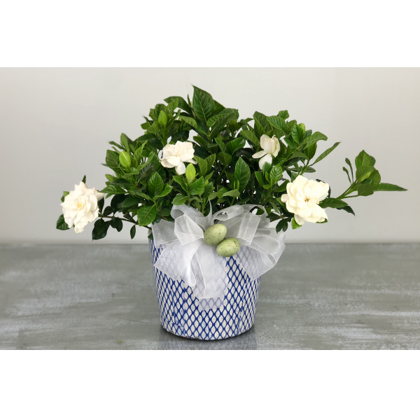 Gardenia in a Collectable Blue and White Lattice Container