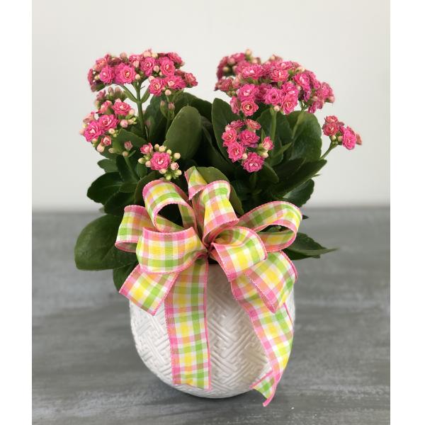 Easter Kalanchoe Plant