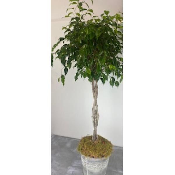 Ficus at 4