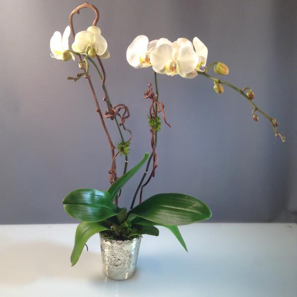Orchid Plant Mercury