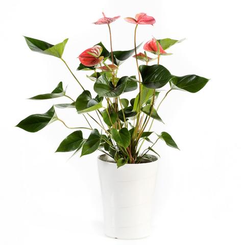 Sparks Florist® - Sparks Anthurium