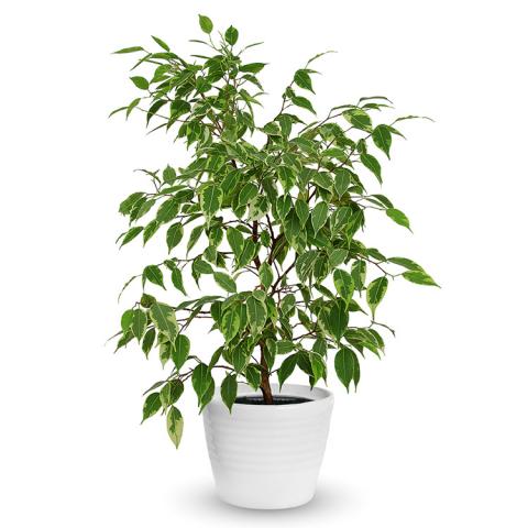 Reno & Sparks Flower Delivery | Sparks Florist® - Reno Ficus