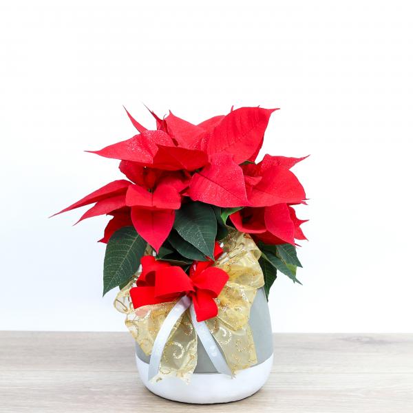 Red Poinsettia - Medium