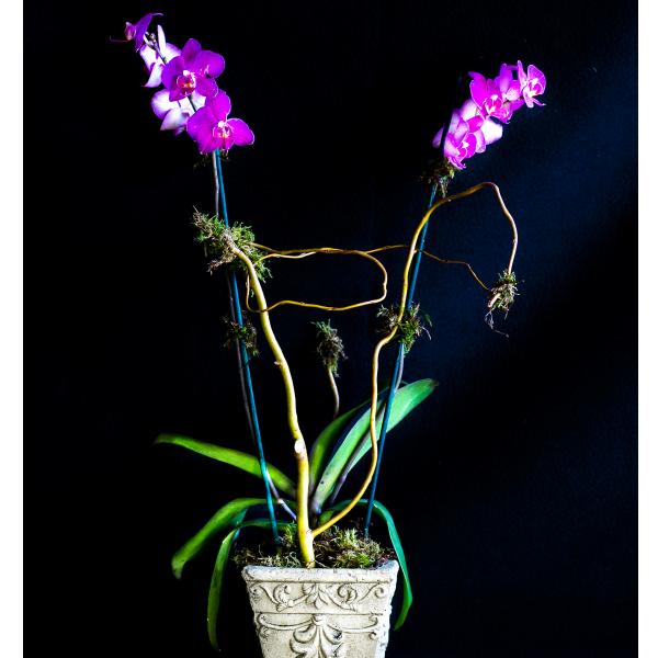 Orchid Garden-Phalaenopsis