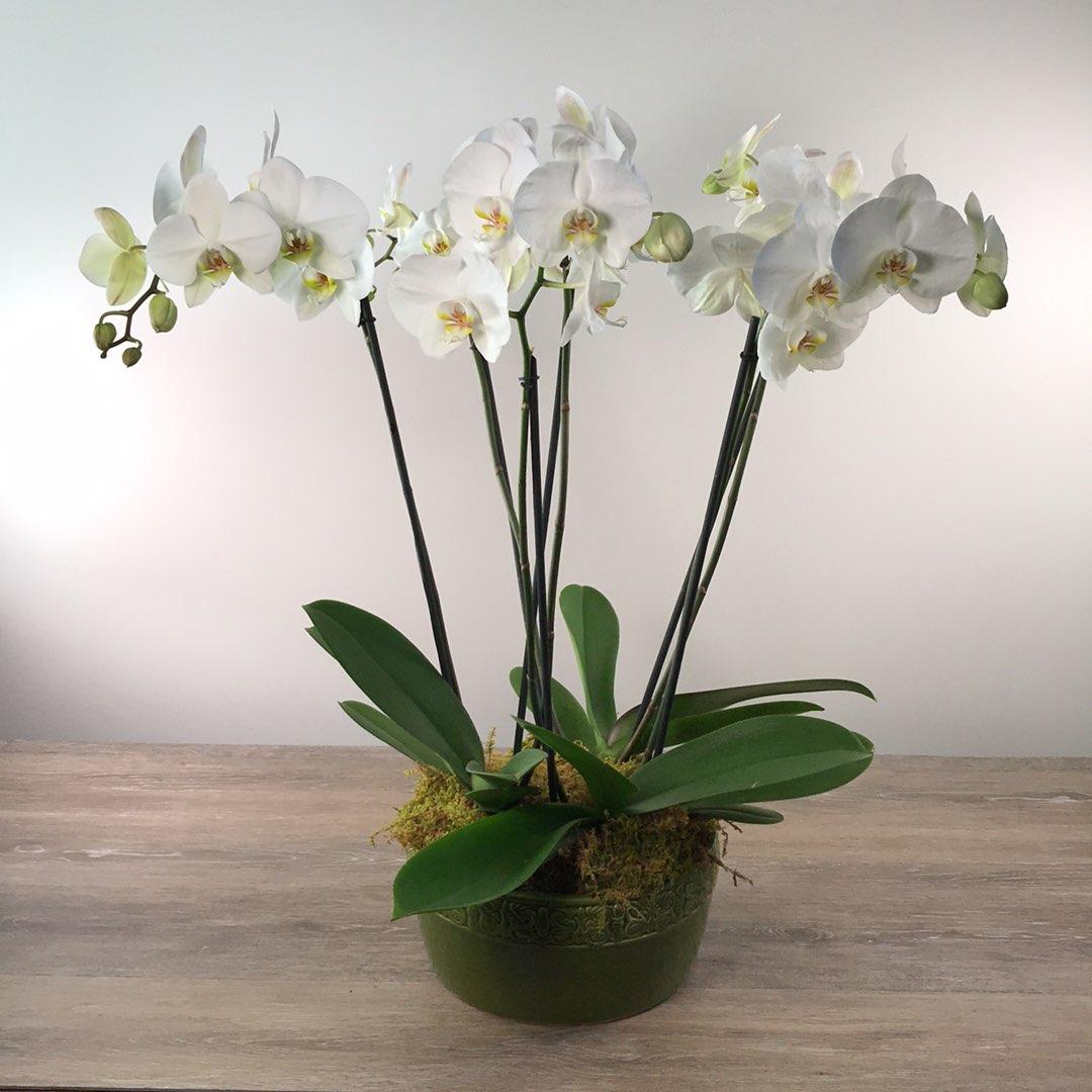 George's Triple Phalenopsis Orchid Planter