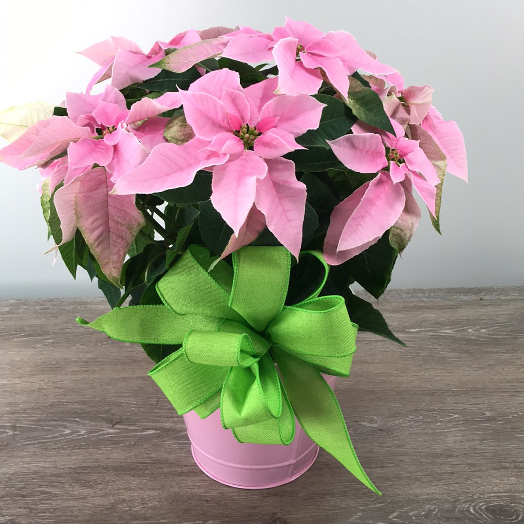 George's Pink Princettia