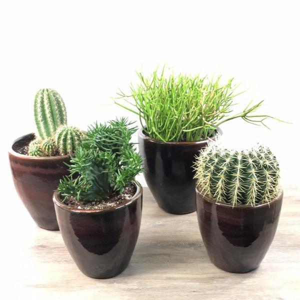 George's Large Cactus Plants