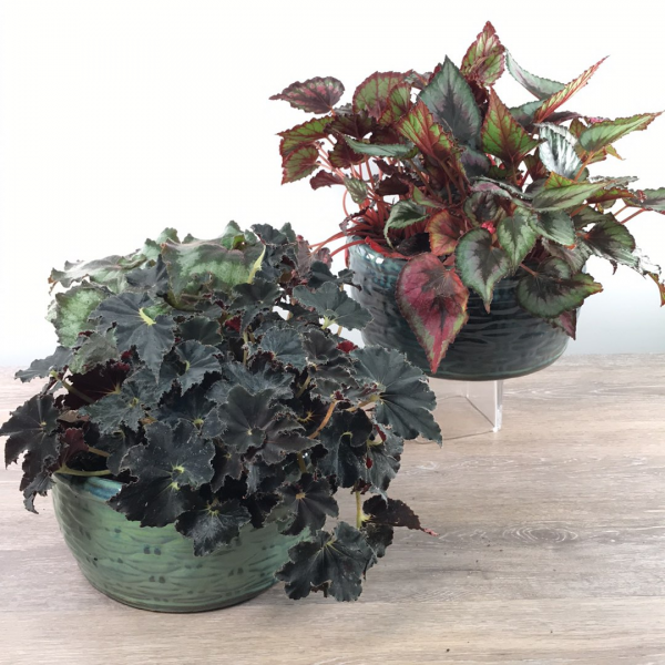 George's Rex Begonia Planter