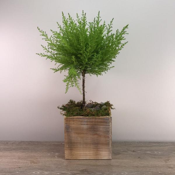George's Lemon Cypress Topiary