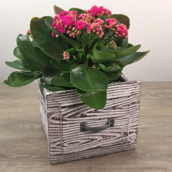 George's Vintage Drawer Kalanchoe