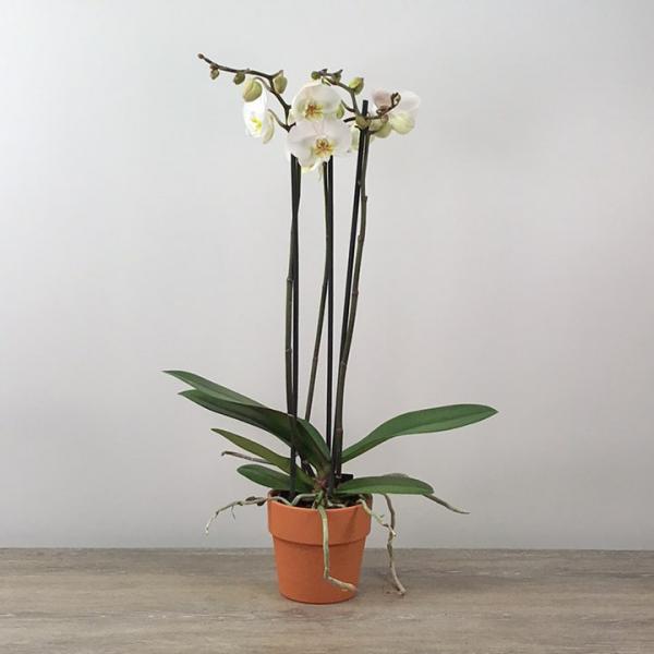Three Stalk White Orchid