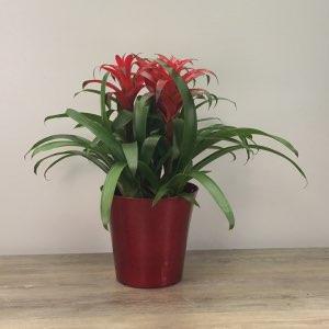 George's Bromeliad Plant
