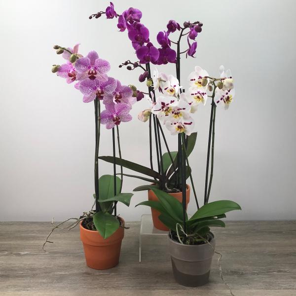 Three-Stalk Orchid