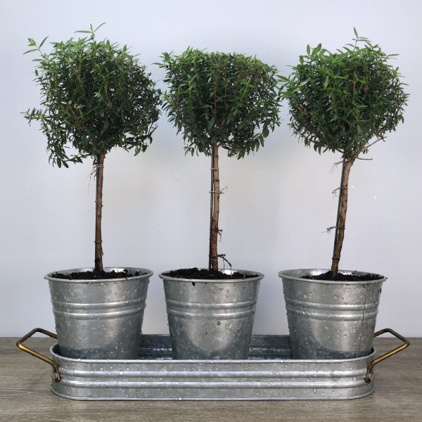 Triple Myrtle Topiaries