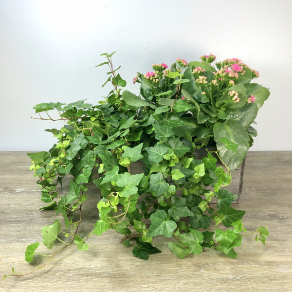 Blooming Ivy Box