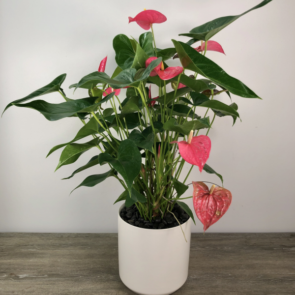 Large Anthurium