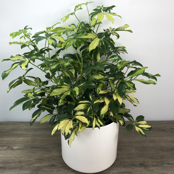 Large Variegated Schefflera