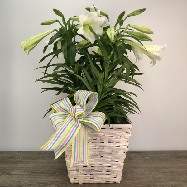 Easter Lily (3 Stalk)
