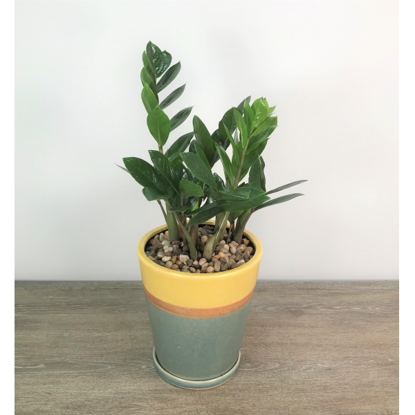 ZZ Plant Two-Toned