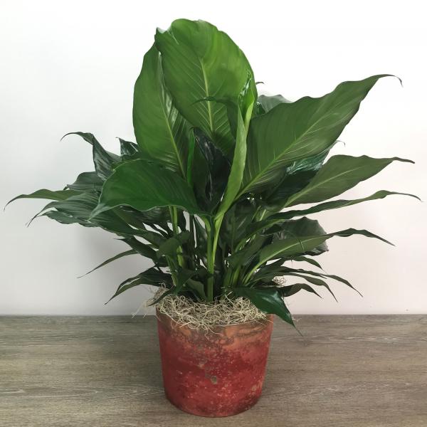Medium Peace Lily (Red Pot)