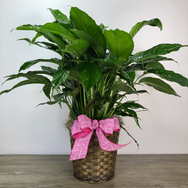 Large Peace Lily in Basket