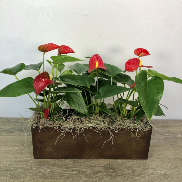 Blooming Anthuriums