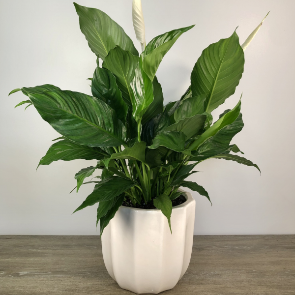 Peace Lily Large in Ceramic