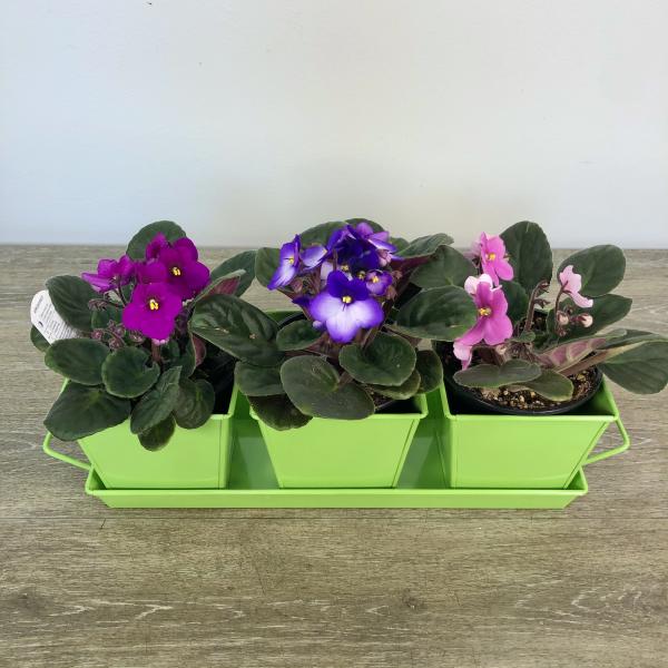 Triple Violets