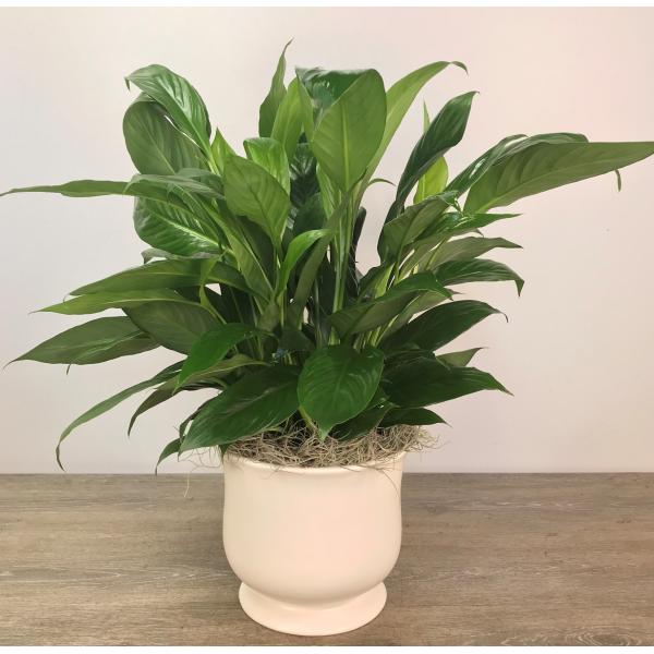 Medium Peace Lily in Ceramic