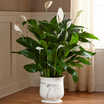 Comfort Planter Large