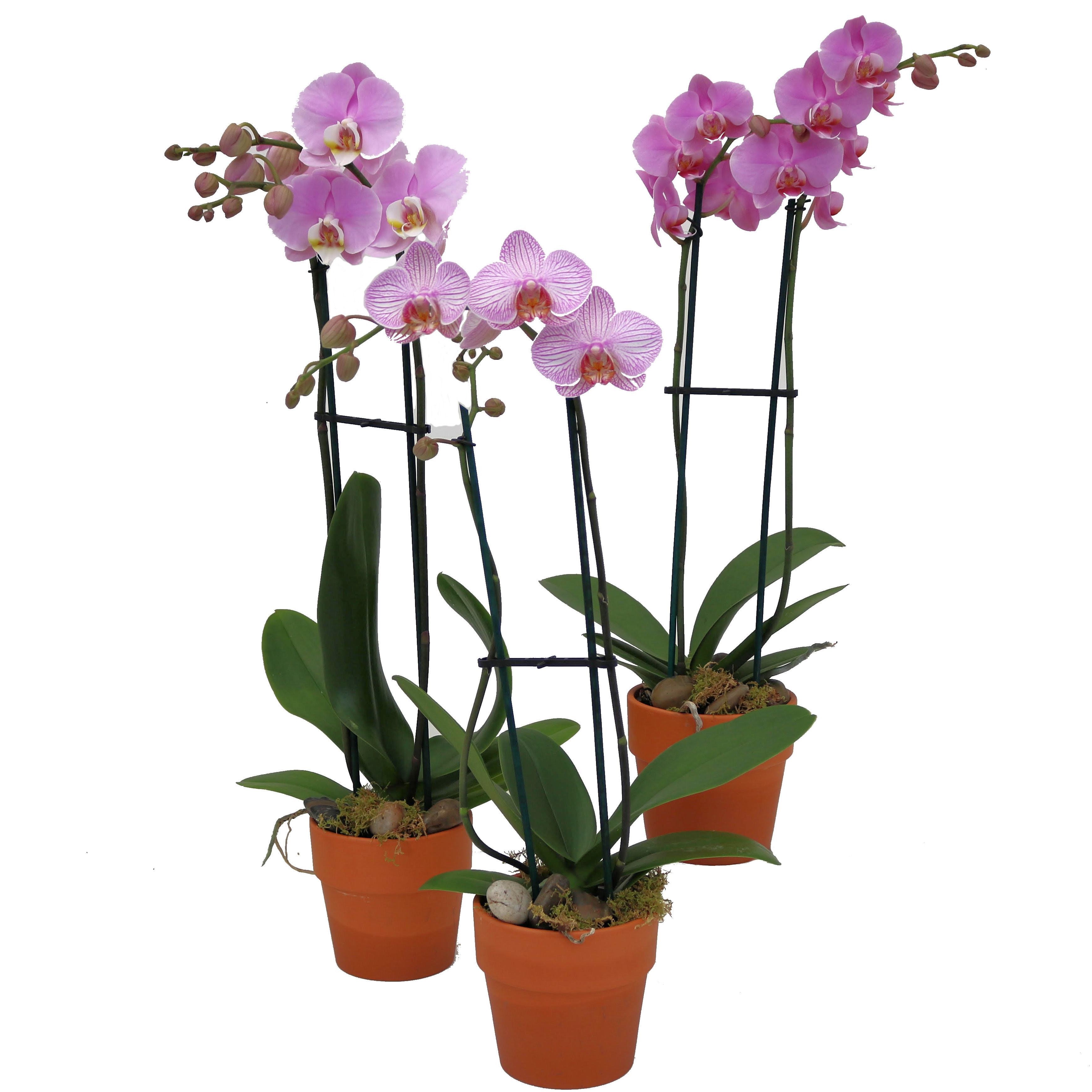 Phalaenopsis Orchid Plant Clay Pot