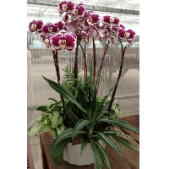 The Grand Orchid Planter from Fremont Flowers. Premium, long lasting phalaenopsis orchids planted in a large container along with tropical green house plants. This is a phenomenal gift for a variety of occasions. Orchid color may vary.