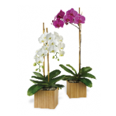 Phalaenopsis orchids.  Prices start locally at $39.95 in a basket,  Single or multiple stems, prices vary with size and stem count. Non-local/ out of town price starts at $39.95. We offer orchids in a ceramic container as well as our triple stem accented with Green house plants.  Traditional colors are white, lavender, purple.   Please note: $39.95 is a single stock and containers used will vary based on availability.