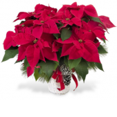 "OUR POINSETTIAS COME WITH HOLIDAY PINE AND TRIM ADDED.  FREMONT FLOWERS DESIGNERS ACCENTUATE THESE HAND PICKED BEAUTIES.  EACH ONE IS UNIQUE AND AN EXPRESSION OF THE HOLIDAY.   <br> POINSETTIAS COME IN A VARIETY OF SIZES. 6"" POTS ARE $39.95. LARGE 8"" POTS START AT $49.95.   <br> THESE ARE NOT YOUR GROCERY STORE POINSETTIAS!"