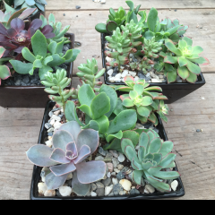 Long lasting, are succulent gardens are great for a desk scape!  Easy care is one of their hallmark qualities