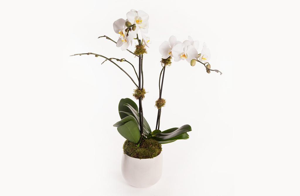 Phalaenopsis alternative
